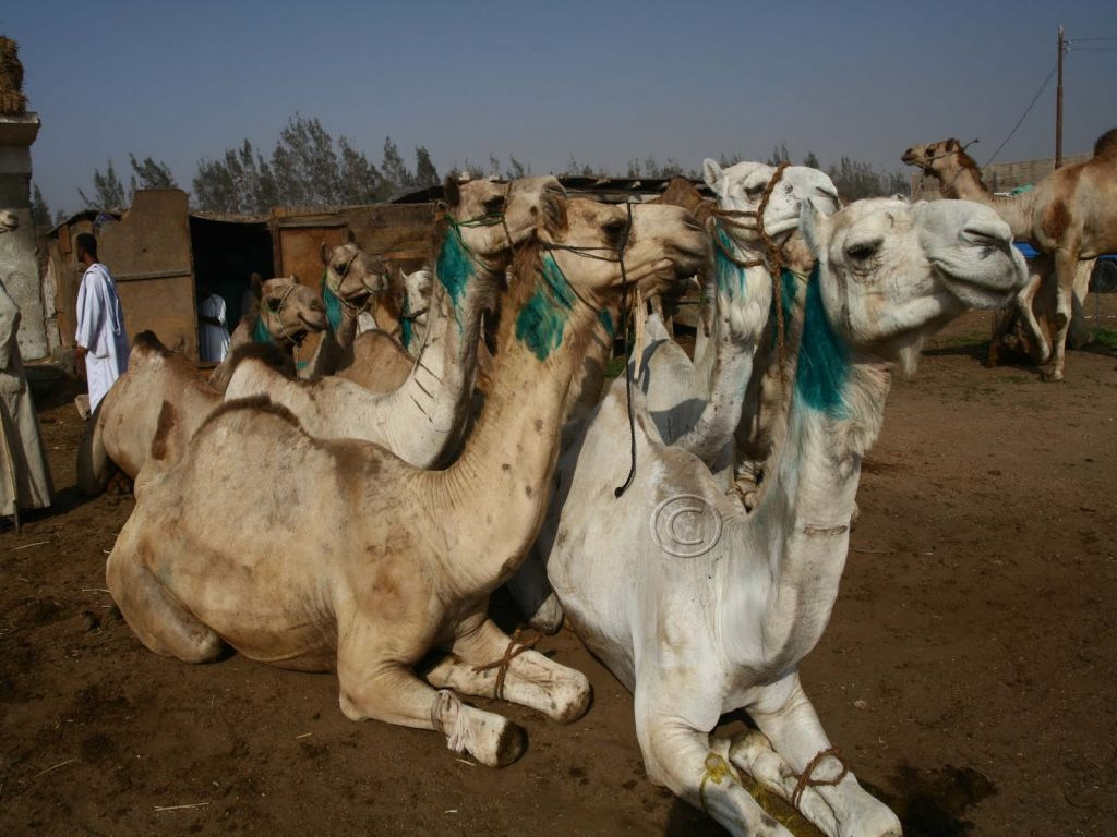 Birqash Camel Market From Cairo